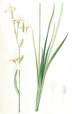 Ixia Sibirica Var. Ochroleuca Art Print