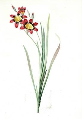 Ixia Tricolor, Ixia Tricolore, Redouté, Pierre Joseph Art Print by Artokoloro