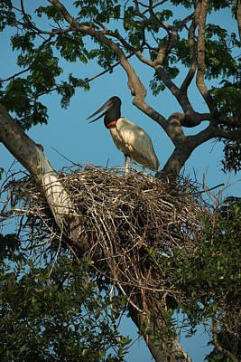 Mato Photograph - Jabiru Stork (jabiru Mycteria by Pete Oxford