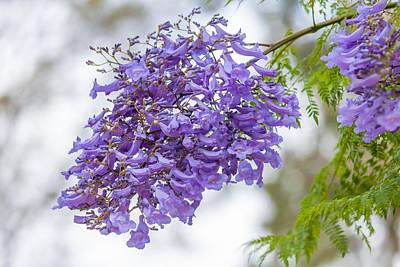 Train Photography - Jacaranda tree in bloom by Craig Lapsley