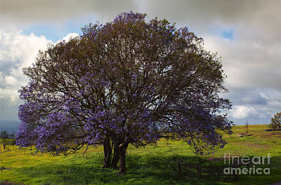 Jacaranda Tree Art Print by Mike  Dawson