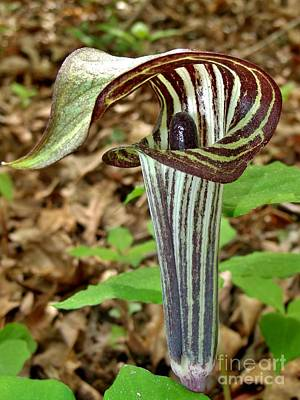 Photograph - Jack In The Pulpit by Hominy Valley Photography
