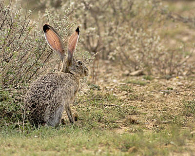Photograph - Jack Rabbit by Charles McKelroy