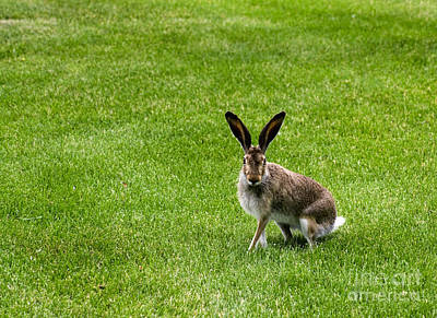 Photograph - Jack Rabbit by Charline Xia
