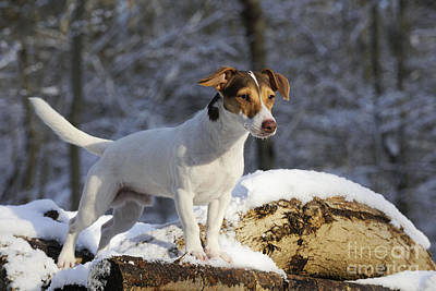 Dog In Snow Photograph - Jack Russell Terrier In Snow by John Daniels