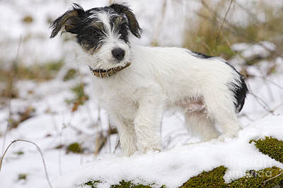 Dog In Snow Photograph - Jack Russell Terrier In Snow by M. Watson