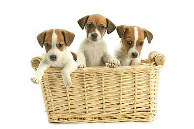 Baby In Basket Photograph - Jack Russell Terrier Puppies by Jean-Michel Labat