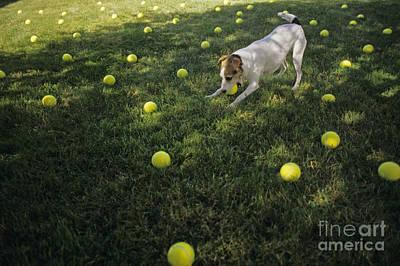 Jack Russell Terrier Tennis Balls Art Print
