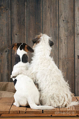 Photograph - Jack Russell Terriers by John Daniels