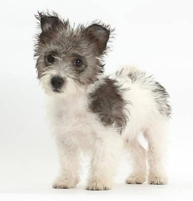 Jack Russell X Westie Pup Standing Art Print