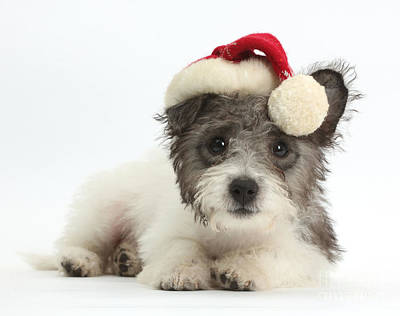 Jack Russell X Westie Pup Wearing Art Print