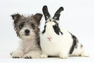 Westie Pup Photograph - Jack Russell X Westie Pup With Rabbit by Mark Taylor