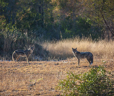 Photograph - Jackals by Craig Brown