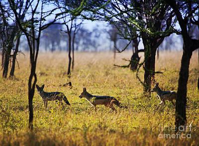 Silver Photograph - Jackals On Savanna. Safari In Serengeti. Tanzania. Africa by Michal Bednarek