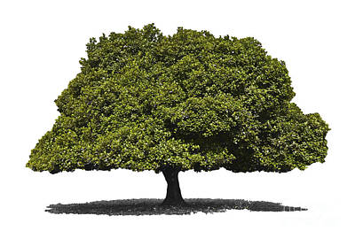 Jackfruit Tree Isolated Art Print by Image World