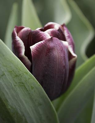Photograph - Jackpot Tulip by Joseph Skompski