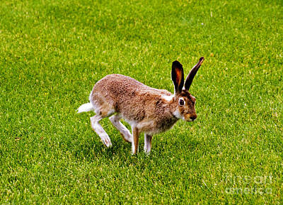 Photograph - Jackrabbit by Charline Xia