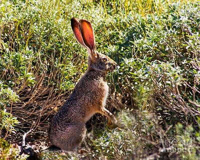 Brown Hare Photograph - Jackrabbit by Robert Bales