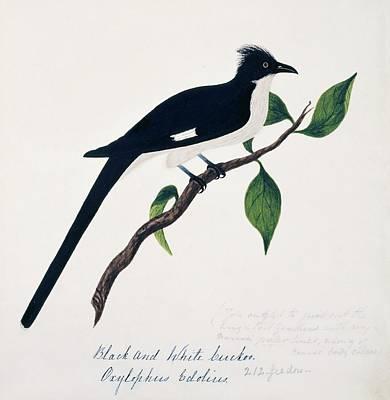 Cuckoo Wall Art - Photograph - Jacobin Cuckoo by Natural History Museum, London/science Photo Library