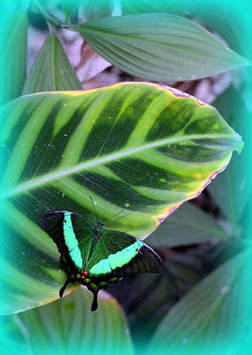 Jade Butterfly With Vignette Art Print by Carla Parris