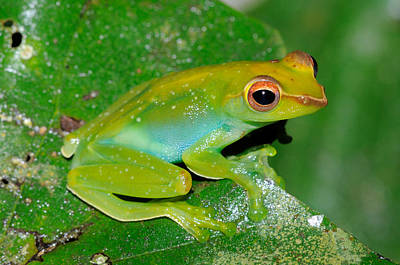 Rhacophorus Photograph - Jade Tree Frog, Malaysia by Fletcher & Baylis