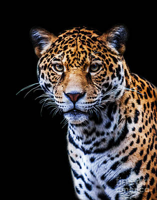 Photograph - Jaguar A Two by Ken Frischkorn