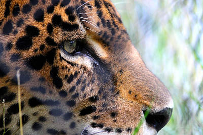 Jaguar Eyes Art Print by Nathan Miller