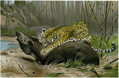Jaguar Killing Tapir Art Print