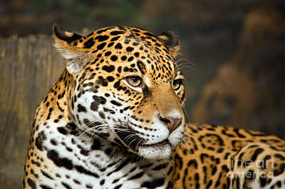 Photograph - Jaguar Mom by Lula Adams