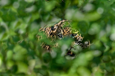 Three Brothers Photograph - Jaguar Panthera Onca Behind Leaves by Panoramic Images