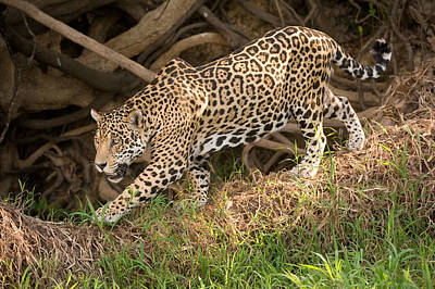 Wetlands Photograph - Jaguar Panthera Onca Foraging by Panoramic Images