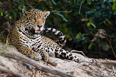 Of Felines Photograph - Jaguar Panthera Onca Snarling, Three by Panoramic Images