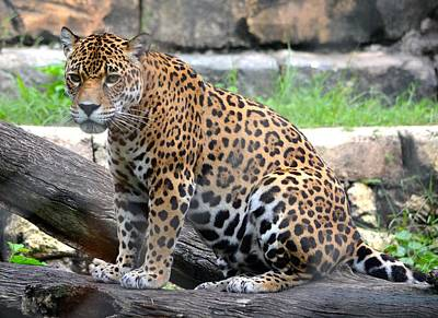 Photograph - Jaguar Portrait 2 by Richard Bryce and Family