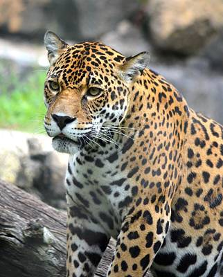 Photograph - Jaguar Portrait by Richard Bryce and Family