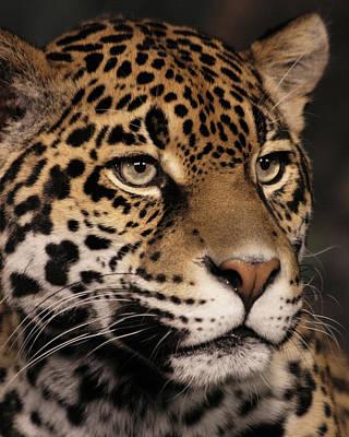 Photograph - Jaguar Portrait by Theo OConnor