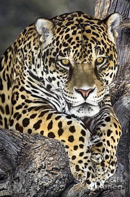 Art Print featuring the photograph Jaguar Portrait Wildlife Rescue by Dave Welling