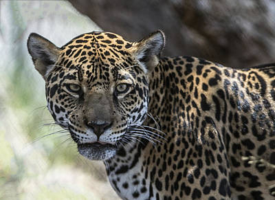 Photograph - Jaguar Portrait by William Bitman
