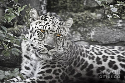 Photograph - Jaguar by Rich Collins