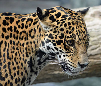 Photograph - Jaguar Stare by Richard Bryce and Family