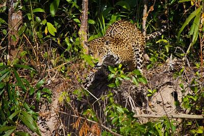 Photograph - Jaguar Vs Caiman 1 by David Beebe