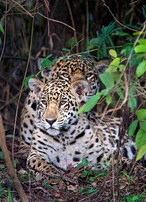 Jaguars Panthera Onca, Pantanal Art Print