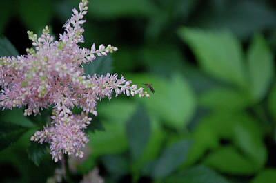 Photograph - Jammer Astilbe 001 by First Star Art
