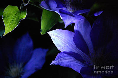 First Star Art By Jammer Photograph - Jammer Clematis At Night 002  by First Star Art
