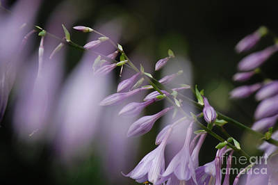 Photograph - Jammer Hostas 002 by First Star Art