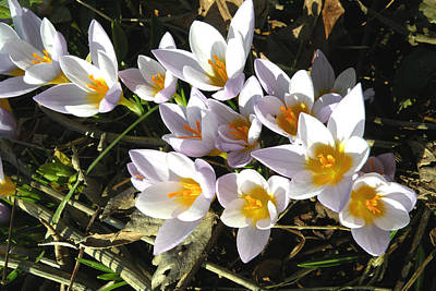 Photograph - January Crocuses by Brian Chase