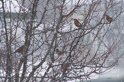 Photograph - January Robins In West Michigan by Conni Schaftenaar
