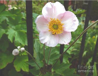 Photograph - Japanese Anemone - Honorine Jobert by Rod Ismay