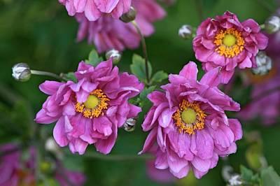 Hybrida Photograph - Japanese Anemone (anemone X Hybrida) by Dr. Nick Kurzenko