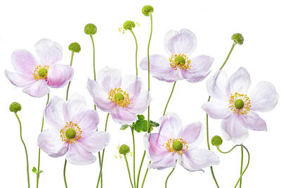 Floral Photograph - Japanese Anemones by Mandy Disher