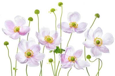 Japanese Anemones Art Print